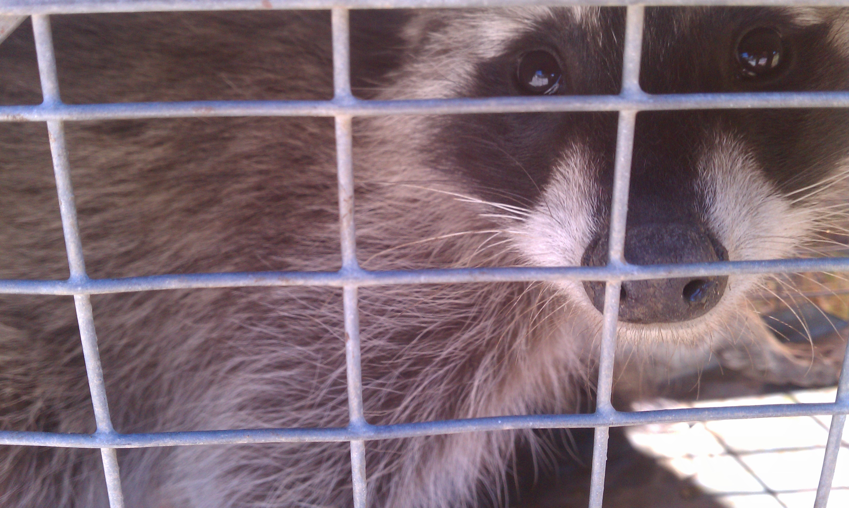 trapping nuisance racoons in america as an extremely profitable business Call united wildlife control today to get a free phone estimate for your home or business oregon nuisance wildlife removal your home, your lawn and your property from nuisance wildlife, such as: raccoons, bats our services include professional wildlife trapping and removal using.